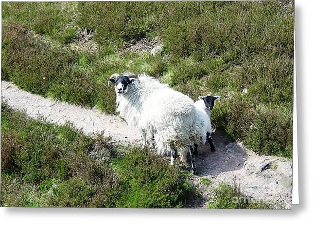 Scottish Blackface Greeting Cards - Scottish Blackface Ewe and Lamb Greeting Card by Ross Sharp