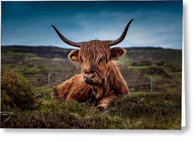 Steer Greeting Cards - Scottish Highland Cow Greeting Card by Mountain Dreams
