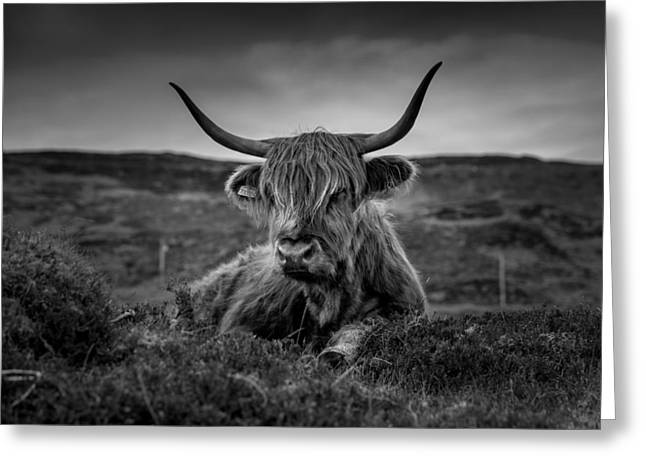 Steer Greeting Cards - Scottish Highland Relaxation Greeting Card by Mountain Dreams