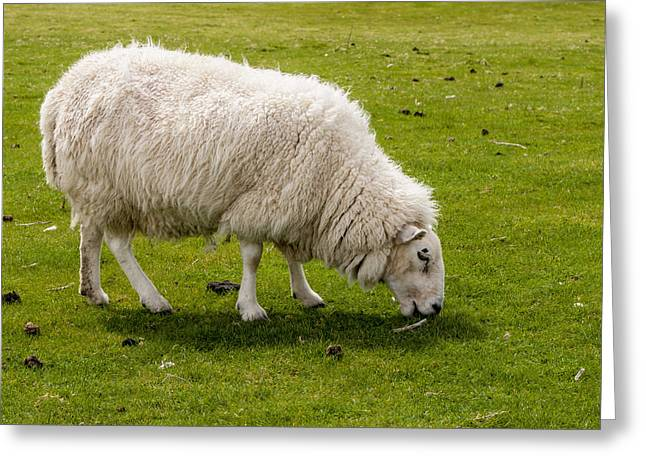 Scottish Blackface Greeting Cards - Scottish Sheep - 1 Greeting Card by Paul Cannon