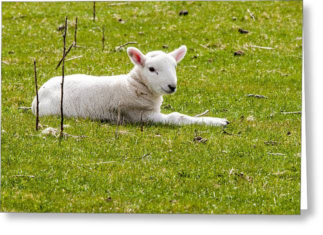 Scottish Blackface Greeting Cards - Scottish Sheep - 2 Greeting Card by Paul Cannon