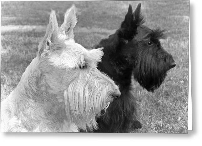 Scottish Terrier Greeting Cards - Scottish Terrier Dogs Black and White Greeting Card by Jennie Marie Schell