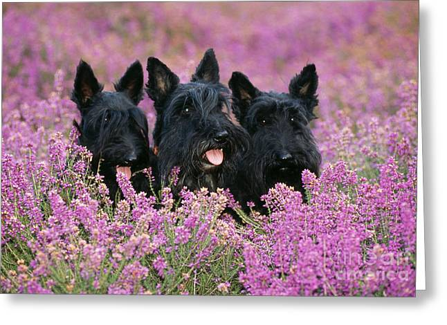 Scottish Terrier Greeting Cards - Scottish Terrier Dogs Greeting Card by John Daniels