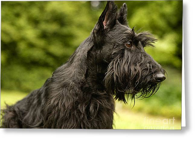 Scottish Terrier Greeting Card by Marvin Blaine