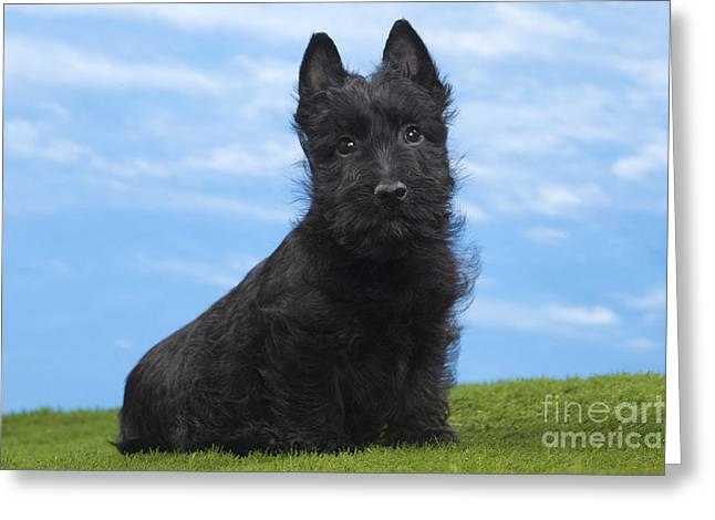 Scottish Terrier Puppy Greeting Cards - Scottish Terrier Puppy Greeting Card by Jean-Michel Labat