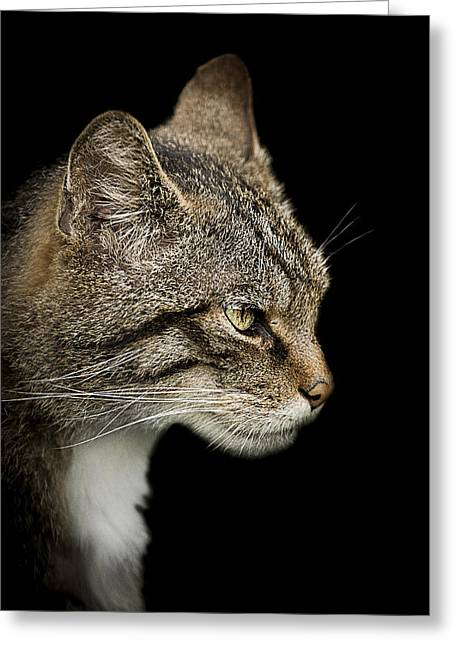 Wildcat Greeting Cards - Scottish Wildcat Greeting Card by Paul Neville