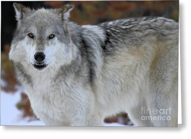 Alpha Wolf Greeting Cards - Scowl Greeting Card by Adam Jewell