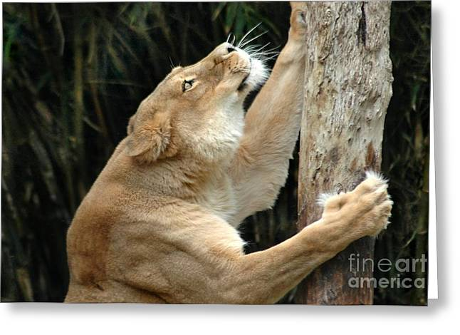 Lions Greeting Cards - Scratching Post Greeting Card by Dan Holm