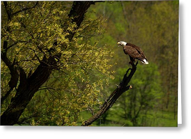 Screaming Eagle Greeting Card by Thomas Young