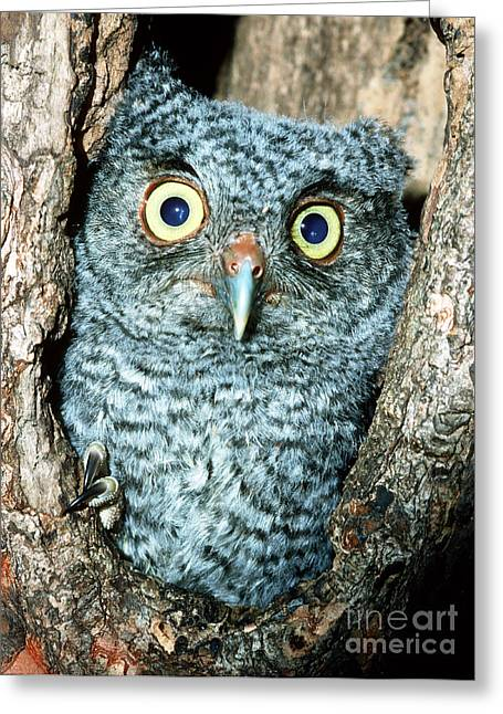 Baby Bird Greeting Cards - Screech Owl Chick Greeting Card by Millard H Sharp