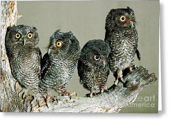 Baby Bird Greeting Cards - Screech Owl Chicks Greeting Card by Millard H. Sharp