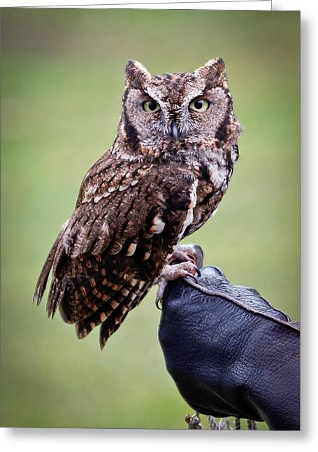 Barn Pen And Ink Greeting Cards - Screech Owl Perched Greeting Card by Athena Mckinzie