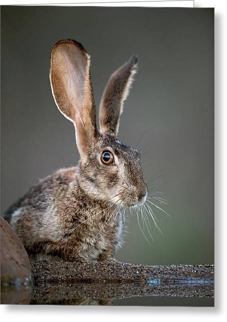Scrub Hare Greeting Card by Tony Camacho