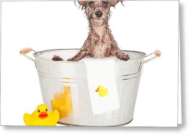 Scruffy Greeting Cards - Scruffy Terrier in a Bath Tub Greeting Card by Susan  Schmitz