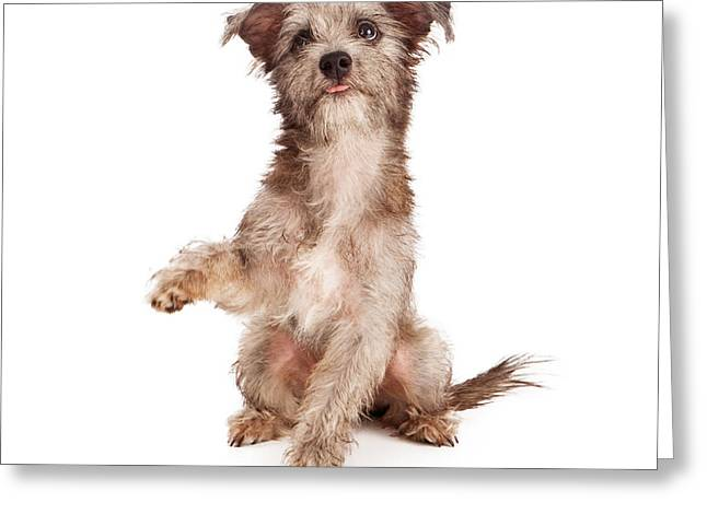 Scruffy Greeting Cards - Scruffy Terrier Puppy Shaking Paw Greeting Card by Susan  Schmitz
