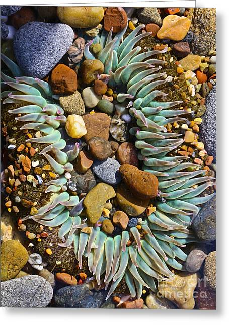 Cambria Digital Greeting Cards - Sea Anemone and Moonstones Greeting Card by Heidi Peschel