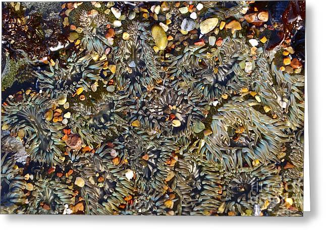 Cambria Digital Greeting Cards - Sea Anemones Limited Edition Greeting Card by Heidi Peschel
