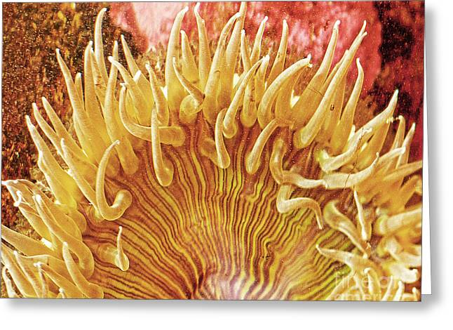 Sea Anenome Greeting Cards - Sea Anenome Stretch Greeting Card by Artist and Photographer Laura Wrede