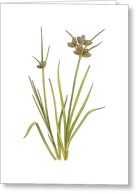 Bayonet Greeting Cards - Sea clubrush (Scirpus maritimus), Greeting Card by Science Photo Library