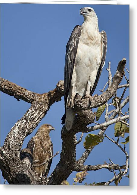 Top-end Greeting Cards - Sea Eagle and Brown Kite Sharing a Tree Greeting Card by Douglas Barnard