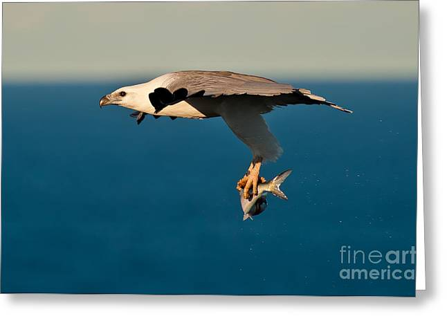 Sea Eagle With Catch Greeting Card by Michael  Nau