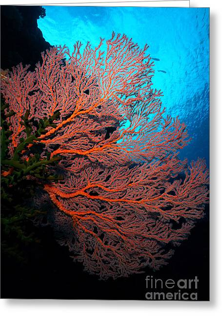Plankton Greeting Cards - Sea Fan Greeting Card by Aaron Whittemore