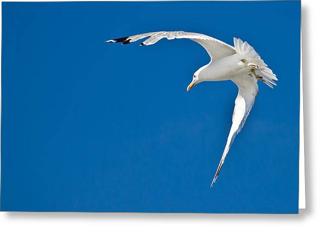 Flying Seagull Greeting Cards - Sea gull flying with blue sky in background Greeting Card by Dalibor Brlek
