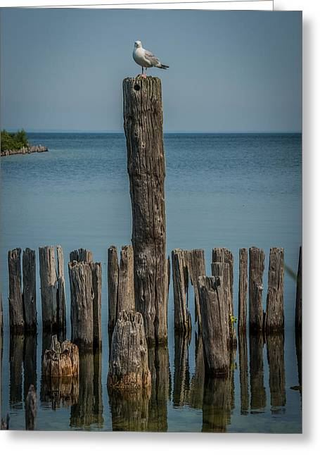 Lakescape Greeting Cards - Sea gull on a Piling Greeting Card by Paul Freidlund
