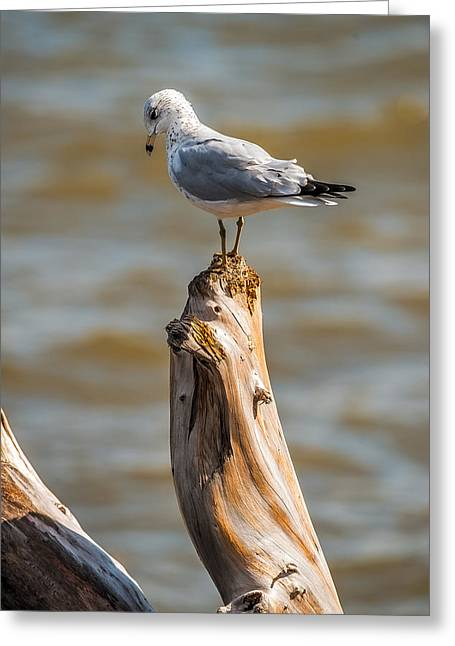 Peaceful Scene Greeting Cards - Sea gull On Driftwood Greeting Card by Paul Freidlund