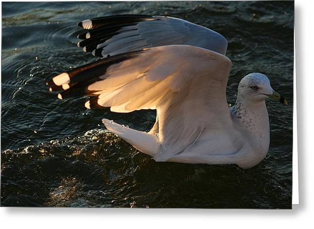 Wild Life Pyrography Greeting Cards - Sea Gulls At Sunset Greeting Card by Valia Bradshaw