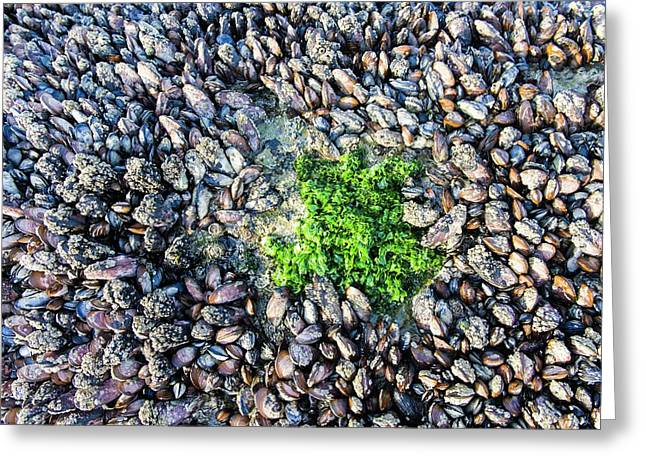 Sea Lettuce And Mussels Greeting Card by Peter Chadwick
