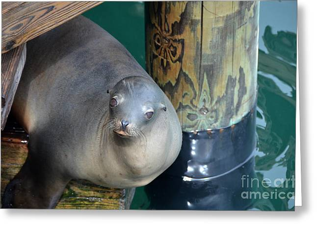 California Sea Lions Greeting Cards - Sea Lion at Avila Wharf Greeting Card by Debra Thompson