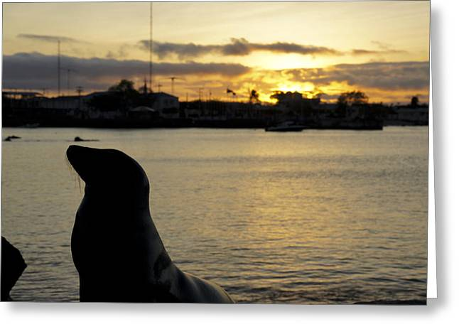 Sea Lions In The Ocean Greeting Cards - Sea Lion at Sunset Greeting Card by Brian Kamprath