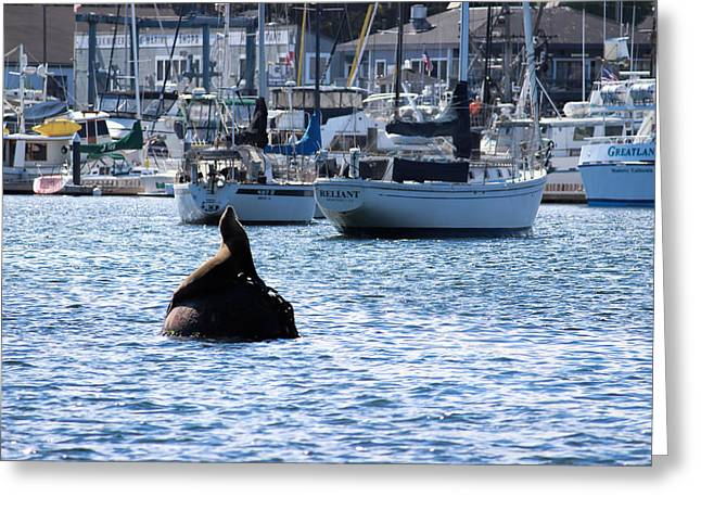 California Sea Lions Greeting Cards - Sea Lion Basking in sun Greeting Card by Becca Buecher
