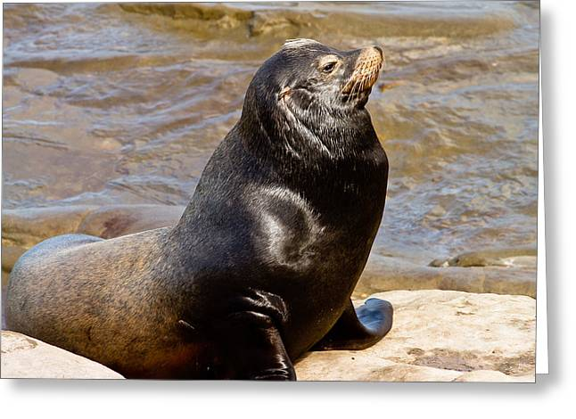 California Sea Lions Greeting Cards - Sea Lion Greeting Card by Ben Graham