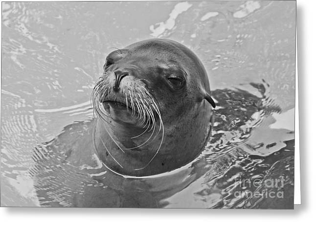 Californian Greeting Cards - Sea Lion Black And White Greeting Card by TN Fairey