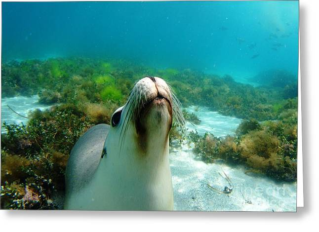 Hopkins Island Greeting Cards - Sea lion bubble blowing Greeting Card by Crystal Beckmann