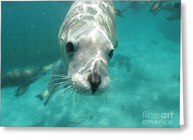 Hopkins Island Greeting Cards - Sea lion Greeting Card by Crystal Beckmann