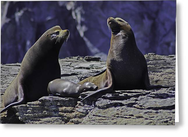 California Sea Lions Greeting Cards - Sea Lion Family Greeting Card by Camilla Fuchs