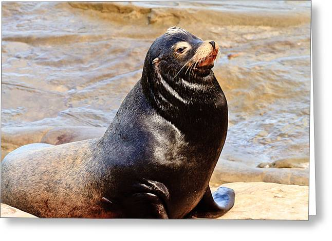 California Sea Lions Greeting Cards - Sea Lion in La Jolla Greeting Card by Ben Graham