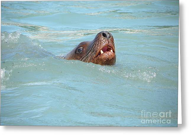 Sea Lions Drawings Greeting Cards - Sea Lion Greeting Card by Jennifer Kimberly