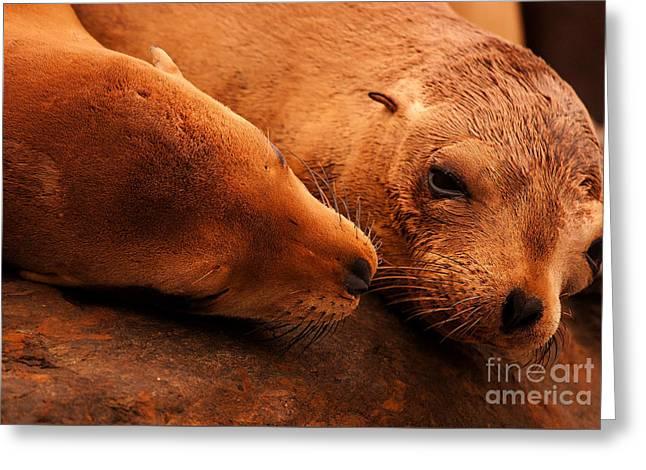 California Sea Lions Greeting Cards - Sea Lion Love Greeting Card by John Tsumas