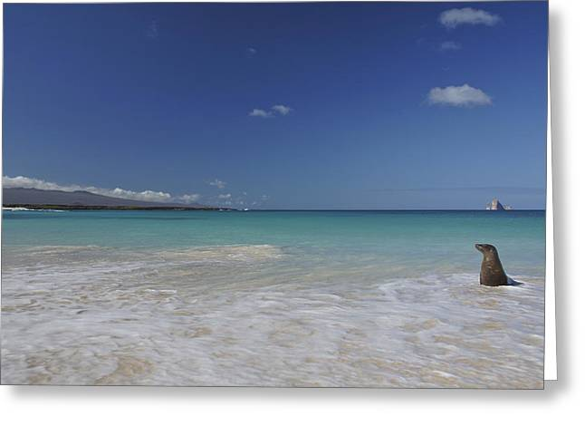 Sea Lions In The Ocean Greeting Cards - Sea Lion on the beach Greeting Card by Brian Kamprath