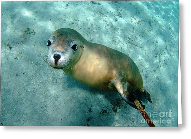 Sea lion on the seafloor Greeting Card by Crystal Beckmann