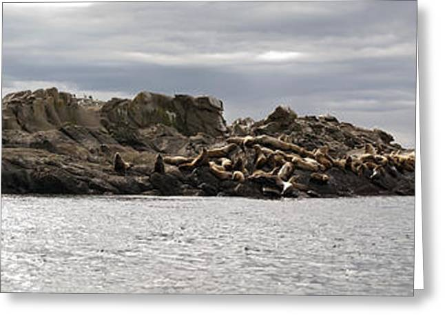 California Sea Lions Greeting Cards - Sea Lion Panorama Greeting Card by Derek Holzapfel