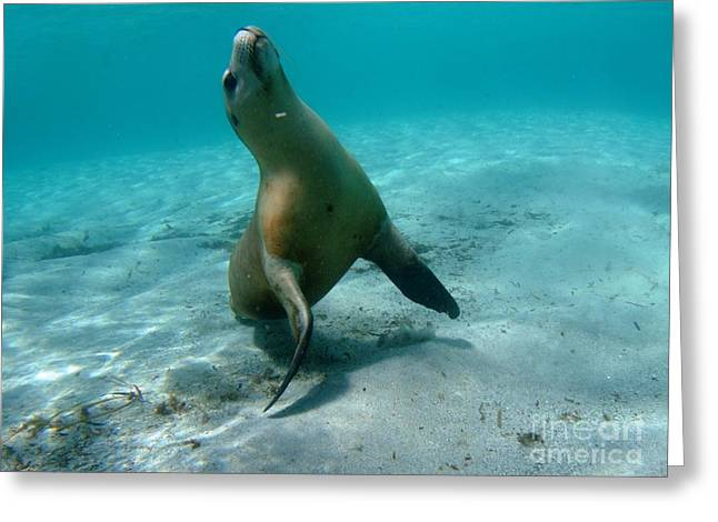 Hopkins Island Greeting Cards - Sea Lion play time Greeting Card by Crystal Beckmann