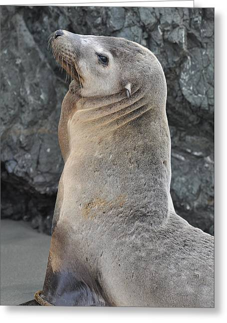 California Sea Lions Greeting Cards - Sea Lion Portrait Greeting Card by Brandon Bourdages