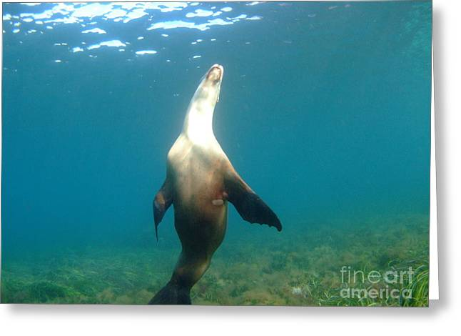 Hopkins Island Greeting Cards - Sea Lion Pose Greeting Card by Crystal Beckmann
