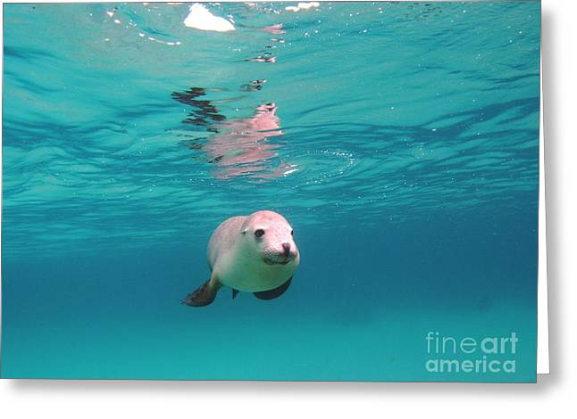 Hopkins Island Greeting Cards - Sea lion reflection Greeting Card by Crystal Beckmann