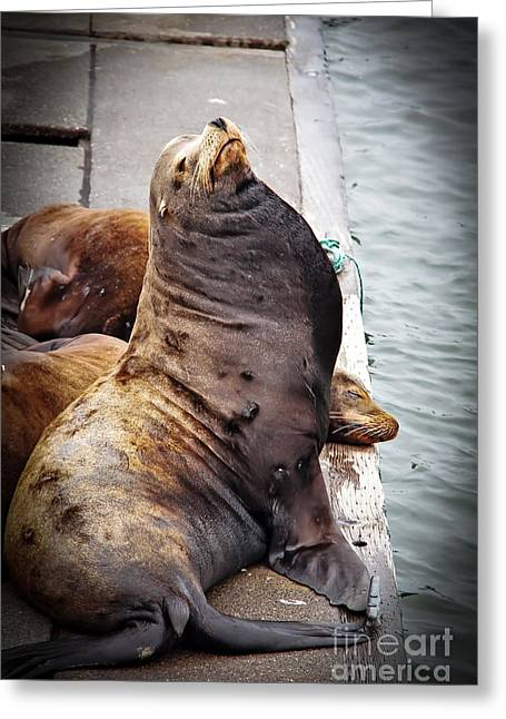 Sea Lion Greeting Card by Robert Bales